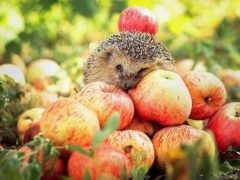 Хранение яблок - полезные советы