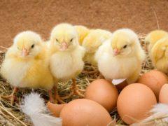 Сбор яиц для инкубации