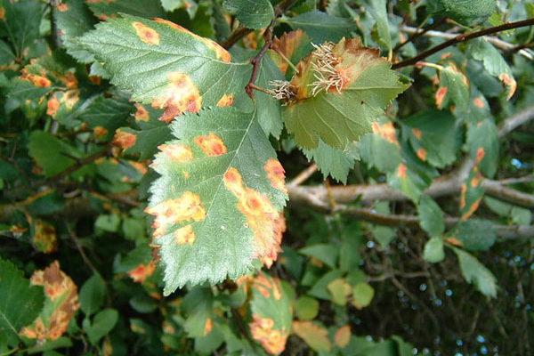 Как избавиться от ржавчины на растениях