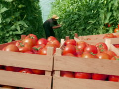 Сбор помидор