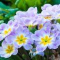 Примула: условия выращивания неприхотливого первоцвета