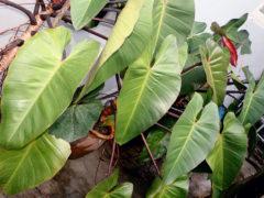 Многоликий филодендрон