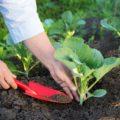 Как правильно посадить капусту. Выращивание и уход