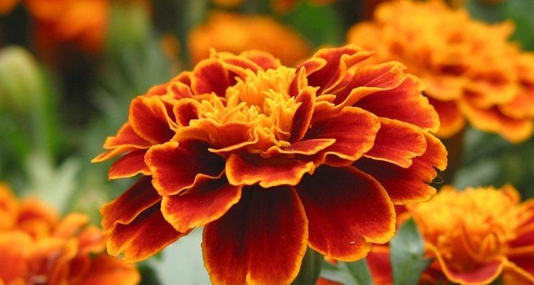 Цветы бархатцы: посадка, уход и болезни
