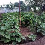 Выращивание огурцов «елочкой». Преимущества и недостатки способа